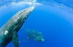 Underwater view of humpback whales, Hawaii (© michael and monica sweet/Alamy) November 2013 whale watching season Dec.-April However The Kona Coffee Cultural festival is in November. Wouldn't this be a life changing experience......