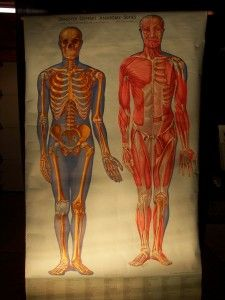 Old Anatomical Teaching Charts. The Skeleton and Muscles.