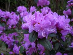 Compact P.J.M. Rhododendron is clothed in stunning clusters of lightly-scented lavender trumpet-shaped flowers with rose overtones at the ends of the branches in mid spring, which emerge from distinctive fuchsia flower buds. It has green foliage. The narrow leaves turn an outstanding purple in the fall.