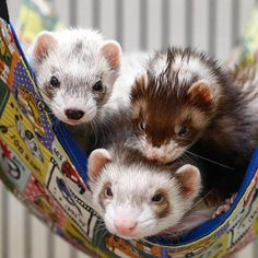 Babby ferrets