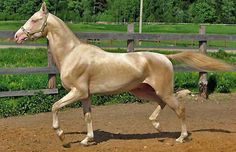 Akhal Teke. Such awesome color