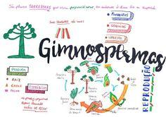 Mala Mental de Biologia : Gimnosperma