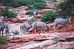 Big Horn Sheep at Zion - Fine Art Print by ArtWagerPhotos on Etsy
