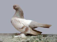 Shrunken Head Fancy Pigeon