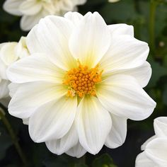 Dahlia: Dahlias Seeds - Huge Selection of Annual Flower Seeds