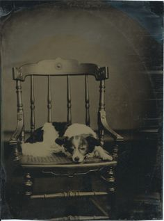Full-plate tintype of dog lying on chair with caned seat. From bendale collection