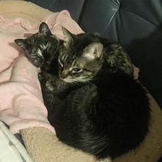 ‥‥ね(ღˇᴗˇ)。o ①に戻ってた!(一個前の投稿) やっぱり最後は一緒に寝てる (飼い主は寒さでトイレに起きる) 起こしちゃってごめんね、おやすみ にゃんた、きなこ Good night,Nyanta and Kinako. #にゃんすたぐらむ #ねこすたぐらむ  #キジトラ #サビ猫 #愛猫 #多頭飼い  #猫のいる暮らし #猫との暮らし  #猫好きさんと繋がりたい  #猫好きな人と繋がりたい  #cat #cats #catstagram