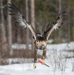 A golden eagle with a knife!