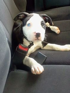 What a cutie - #little #pitbull #puppy