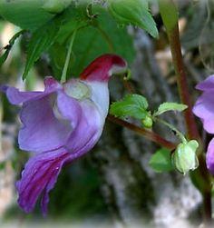 Exotic World Flowers - Parrot Flower (Impatiens psittacina)