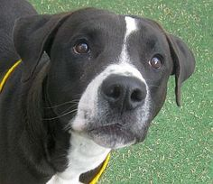 #NEVADA #URGENT ~ OREO - ID A702866      I'm a male, black & white Pit Bull Terrier.  Shelter staff think I'm about 1 year old ( I think I'm a #puppy ).    I have been at the shelter since 3/5/2013 &  I'd sure like a loving home <3 ~~ #Adopt me at THE ANIMAL FOUNDATION   655 North Mojave Road  #LasVegas, NV 89101  ph (702) 384-3333   ext 131	fax: (702) 384-4563  adoptions@animalfoundation.com