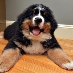 Burnese Mountain dog puppy