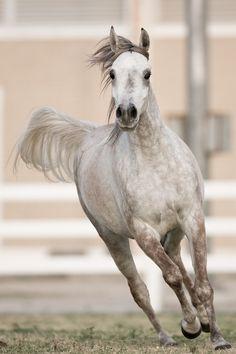 Gray Arabian Horses   Arabian horse   Running Horses