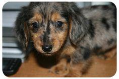 Dapple mini dashound is my future doggy I love their look soooo cute!