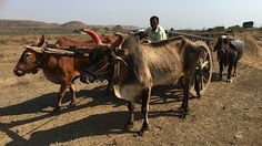 A farmer steers his cart through land that was a dam brimming with water just a few years ago which fed the district of Beed in the parched state of Maharashtra. After two years of drought it is among India's hardest-hit.