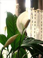 Plantes d'intérieur à l'ombre