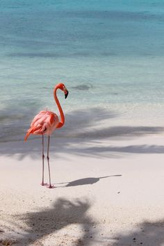 Aruba Fauna - Flamingo, Renaissance Island. Looking almost surreal on the beach on the offshore island near Oranjestad, this flamingo seemed to be enjoying the sunshine and gentle wavelets as much as any of the nearby vacationers...