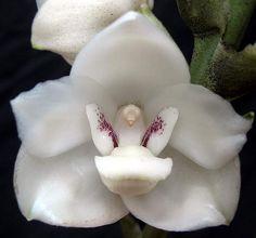 Holy Ghost Orchid or La Flor del Espiritu Santo (Peristeria elata): The national flower of Panama ( Ricardo in Pr )
