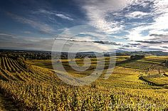 Photograph of golden vineyards in autumn with nice scattered clouds in blue sky