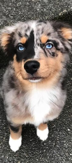 Everything About The Work-Oriented Australian Shepherd Puppies Australian Shepherd Puppies, Aussie Puppies, Cute Dogs And Puppies, Doggies, Australian Shepherds, Corgi Puppies, Baby Dogs, Australian Shepherd Blue Eyes, Aussie Shepherd Puppy