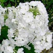 beautiful white Phlox