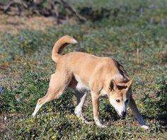 Dingo Lady: The Truth about Dingoes: 3