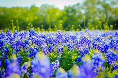 Texas Bluebonnets Lupinus texensis in Full Bloom  #plant #texas #bluebonnets #lupinus #texensis #bloom #photography