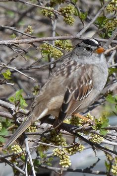 An adult White-Crowned Sparrow (Zonotrichia leucophrys) at the Rio Grande Nature Center in Albuquerque, New Mexico. Photo taken on April 16, 2021. Nature Center, Rio Grande, New Mexico, Birds, Urban, Animals, Image, Animales, Animaux