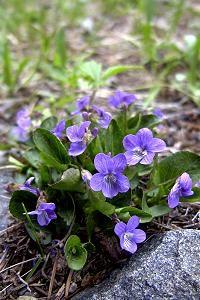 Early Blue Violet - Viola adunca