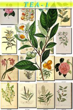 TEA-1 Collection of 60 vintage images botanical pictures High resolution digital download printable 300 dpi Melaleuca camellia rosa sinensis by ArtVintage1800s on Etsy