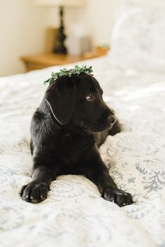adorable black lab puppy wearing crown, newborn style photos of puppy, ©️️Emily Marie Photography, Culpeper ,VA photographer #puppylove #petphotography