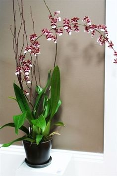 Seattle Orchid - Valentine's Chocolate Orchid