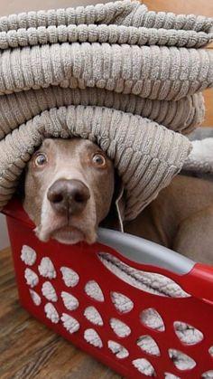 Laundry dog