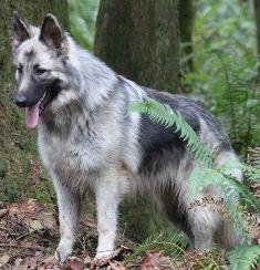 Shiloh Shepherd - same colours as my big boy but not as plush - still beautiful