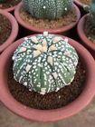 astrophytum asterias super kabuto # mammillaria haworthia cactus succulent cacti