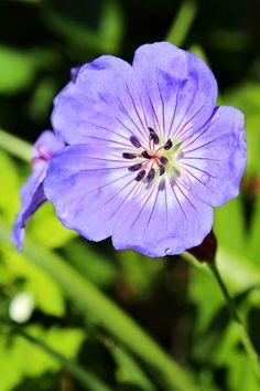 FORMERING AF GERANIUM - geranium 'Rozanne'