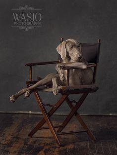 """Ok, that's a wrap. Weimaraner Funny, Weimaraner Puppies, Vizsla, William Wegman, Lovely Creatures, Dog Pin, Dog Rules, Cute Animals, Baby Animals"