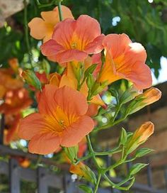 "An excellent fast growing vine for quick cover with large, showy flowers. Growing 20-25' tall & wide, C. chinensis needs support, like a trellis, since it's a twiner with occasional aerial roots. Each red-orange bloom is 4-6"" long. A profuse bloomer, beginning in July & continuing till frost. Hummingbirds love the"