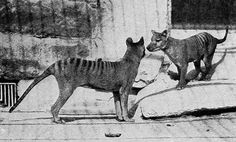 The first thylacines at the Washington DC Zoo were brought from Tasmania in 1902. They were a female and her 3 pups. One of the pups was ill and died soon after arrival. The mother died in 1904 and her two surviving pups (a male and female) were on display until their deaths in 1909. The bodies of all four thylacines were donated to the National Museum of Natural History, where they still are to this day.
