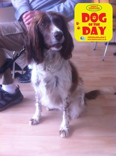 Holly, a 3 year old English Springer Spaniel
