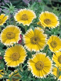 'Tidy Tips' From the sunflower family, a California native wildflower that is easy to grow and self seeds. A ray of sunshine for your flower garden.