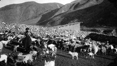 In the sheep corrals | por The Field Museum Library