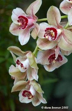 """""""Cymbidium Mouchette""""    