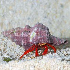 Clean up Crew-Hair algae Scarlet Reef Hermit Crab 3