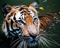 El tigre de Malasia, emblema del país, se encuentra en peligro crítico de extinción http://www.20minutos.es/noticia/2261286/0/tigre-malayo/peligro-extincion/deforestacion/#xtor=AD-15&xts=467263
