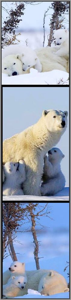 """AMAZING polar bear mum and her cubs <a class=""""pintag searchlink"""" data-query=""""%23by"""" data-type=""""hashtag"""" href=""""/search/?q=%23by&rs=hashtag"""" rel=""""nofollow"""" title=""""#by search Pinterest"""">#by</a> NDR Presse und Information,NDR/Thorsten Milse --- <a href=""""http://my.tvspielfilm.de/tv-programm/sendung/das-abenteuer-der-eisbaerenkinder,58458b3cf033af3525e7019a.html"""" rel=""""nofollow"""" target=""""_blank"""">my.tvspielfilm.de...</a>"""