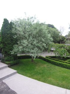 Weeping silver pear tree - I like these amongst vivid green planting