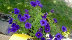 My hanging deck flowers