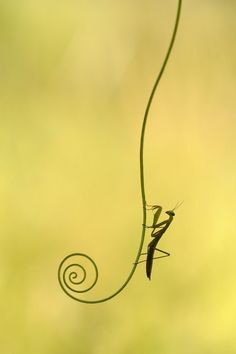 Praying Mantis #minimal #minimalism #photography