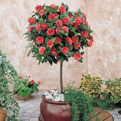 Camellia (Standard) | Van Meuwen Edible Flowers, Cut Flowers, Trees And Shrubs, Trees To Plant, Peonies, Tulips, Camellia Plant, Acid Loving Plants, Tulip Bulbs